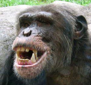 chimpteeth