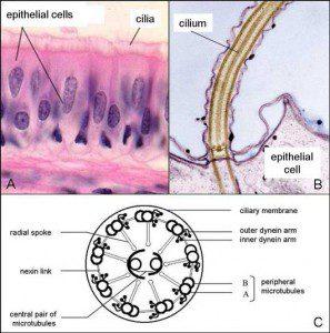 cilia-www.oldenglishsheepdogclubofamerica.org_-297x300