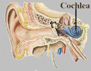 cochlea-ptolentinobioresearch-300x235